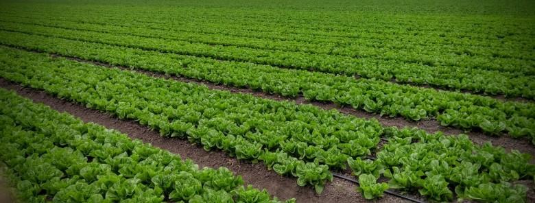 lettuce+misc+(8)